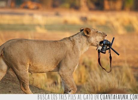 cámara,camarógrafo,león,nikon,robar,sabana