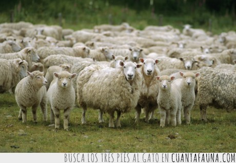 animal adorable,animal gracioso,nueva zelanda,oveja,ovejas,paraíso