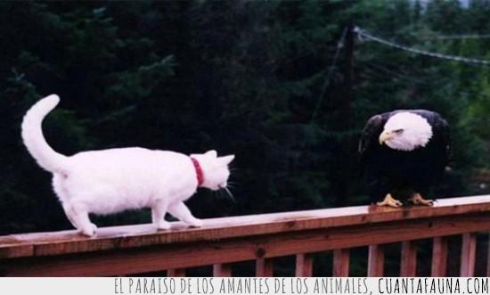 aguila,barandilla,batalla,bosque,cabeza blanca,Gato,pelea