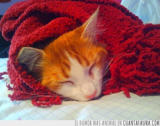 adorable,arropado,dormido,dormir,gato,invierno,manta roja