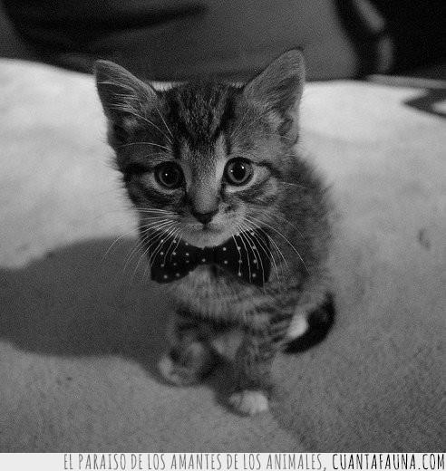 blanco y negro,cachorrito,elegancia,elegante,gato,pajarita,topos blancos