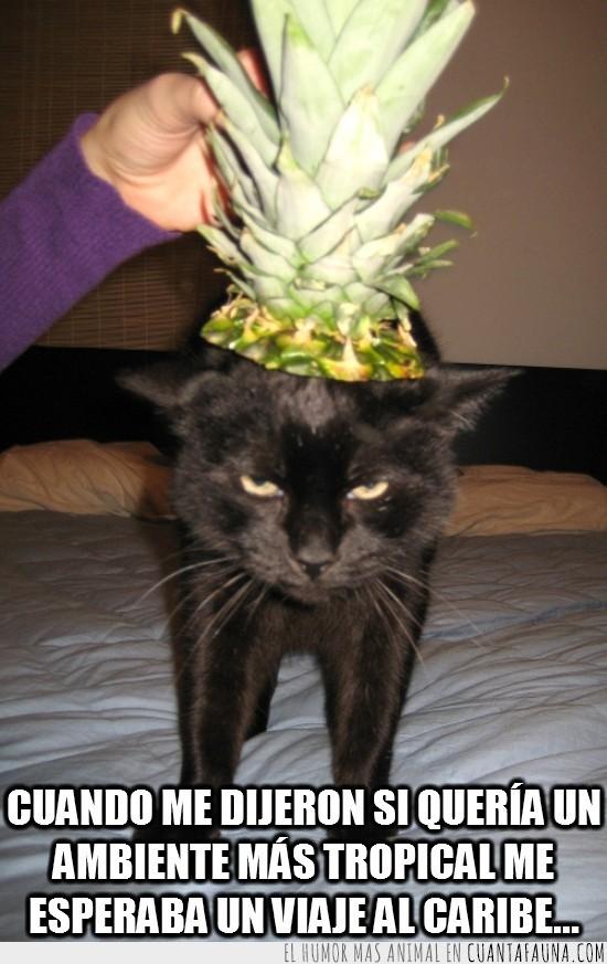 ambiente tropical,cabeza de piña,cola de piña,gato negro,hojas,viaje al caribe