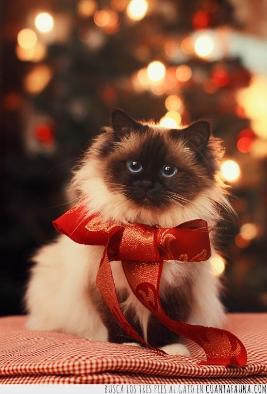cinta,Gato,lazo,Navidad,ojos,regalo,rojo