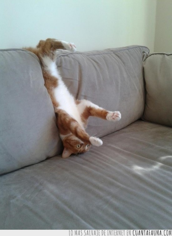 boca abajo,comodo,gato,postura,sofa