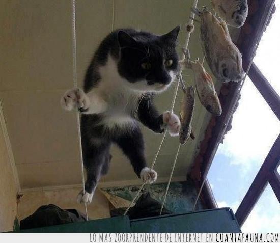 cuerda floja,gato,misión imposible,pescado,tendedero