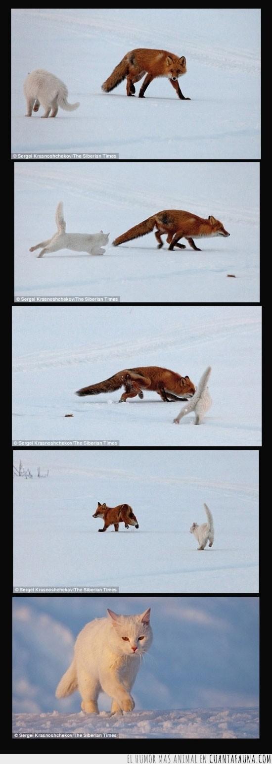 atacar,comida,defender,gato,siberia,zorro