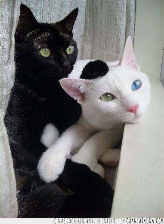 amor,gata,gato,mezclado,ojos azules,ojos verdes,parecido
