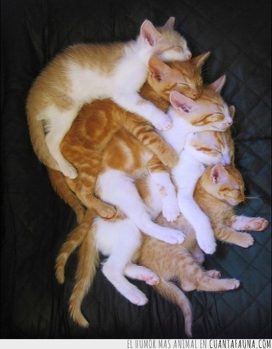 5,dormir,en serie,gatos,pegados,quintillizos,siesta
