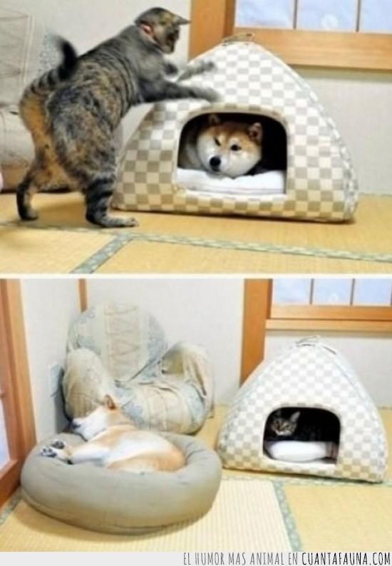 apropiar,cama,casa,caseta,conquistar,dormir,gato,obligar,perro,shiba inu,shibainu