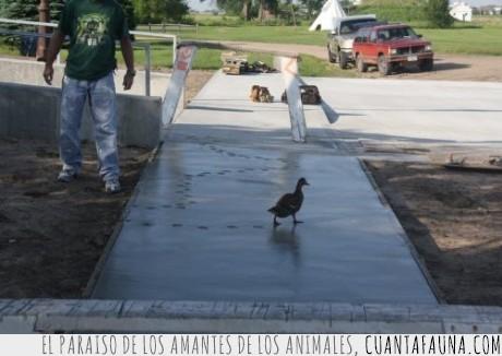 animales,cabrón,cemento,naturaleza,pato