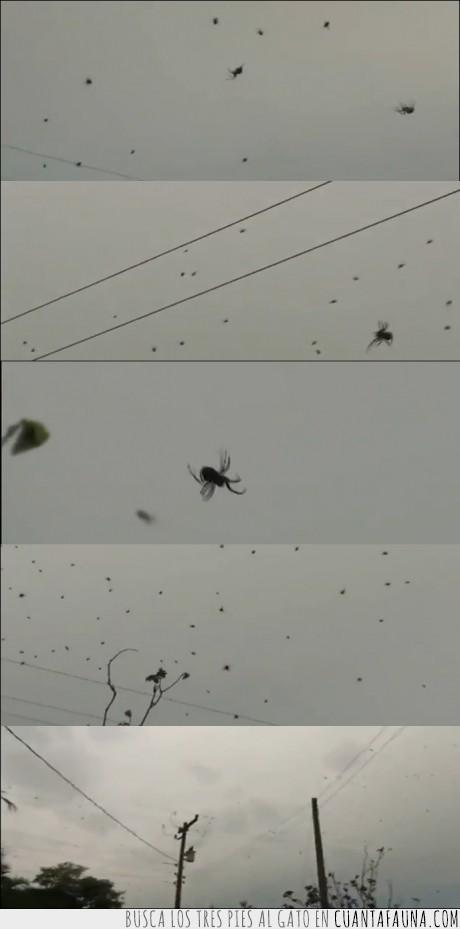 araña,cae,cielo,miedo,San Antonio Brasil,Segestriidae