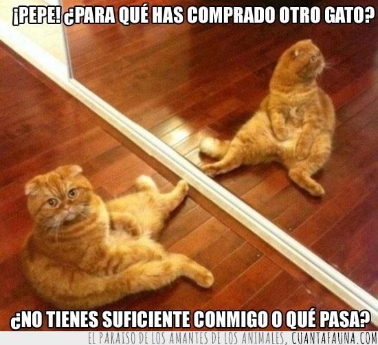 comprar,espejo,Gatos,indignado,otro gato,reflejo