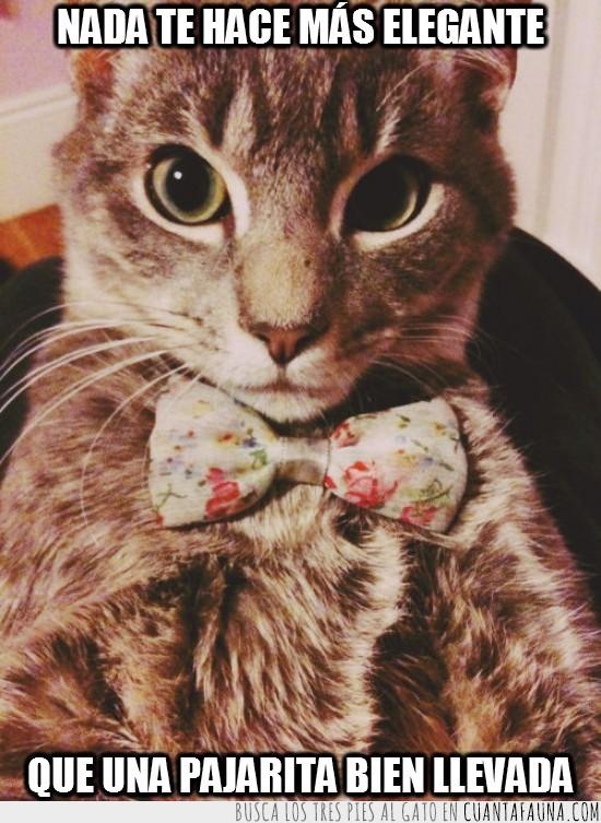clase,elegante,gato,pajarita,vestir
