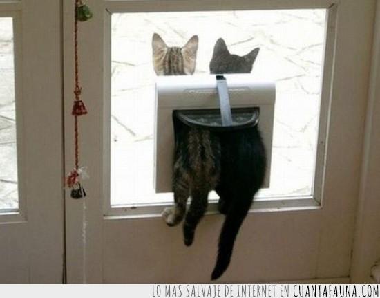 atasco,gatera,gatos,puerta