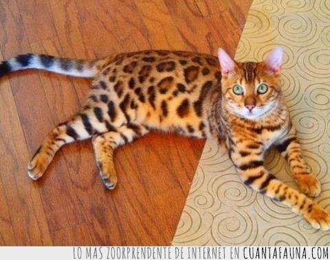felino,leopardo,padre seductor,pelaje,tigre
