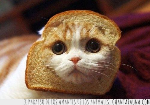 gato,pan bimbo,pan de molde,tostada