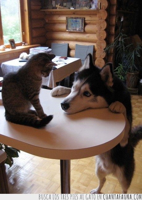 gato,husky,mesa,mirar,perro