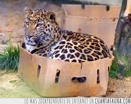 caja,gato,Genes,leopardo