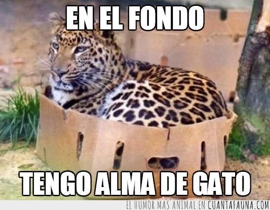 alma,caja,carton,gato,leopardo