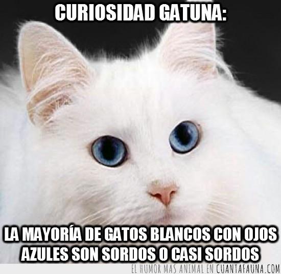 casi sordos,gatos blancos,ojos azules,sordos