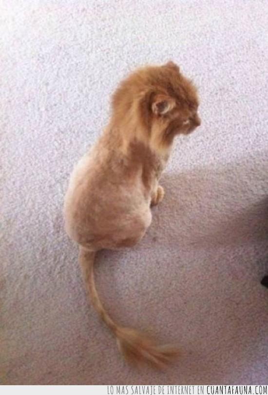 corte de pelo,gato,leon,parecido,peluqueria