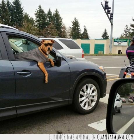 chaqueta,coche,copiloto,gafas,gandia,jersey,perro