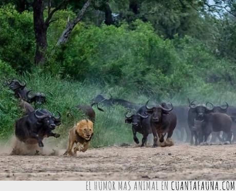 bufalos,huir,leon,manada,venganza