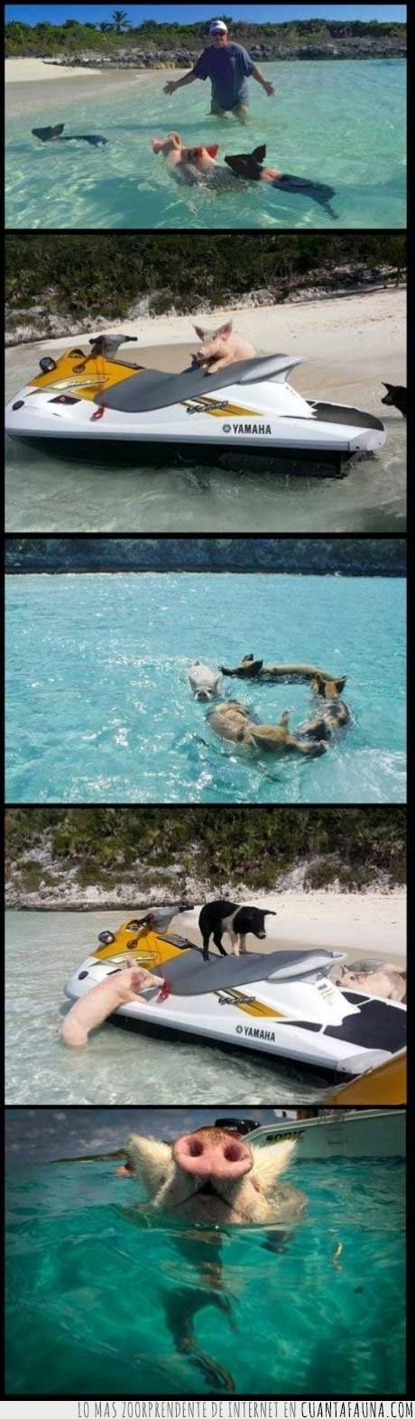 cerdo,feliz,mar,nadar,vacaciones