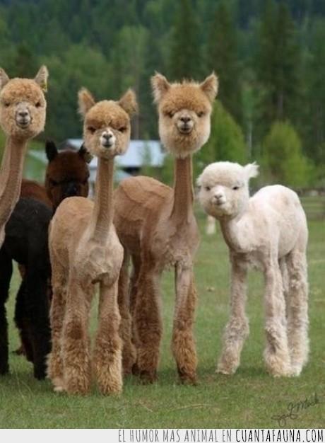 afeitarse,alpaca,llamas,mirada,venganza