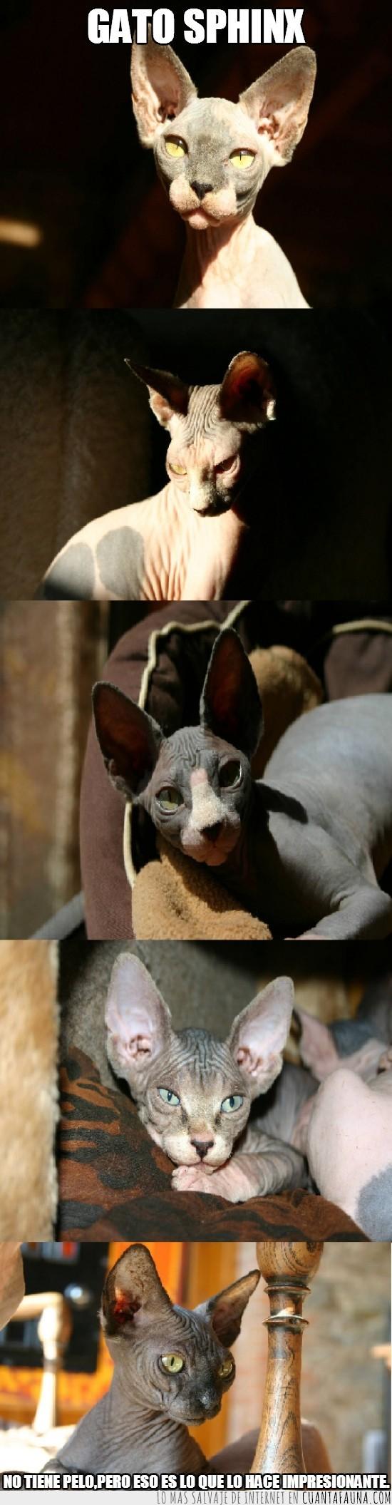 esfinge,gato,impresionante,raza,sin pelo,sphinx