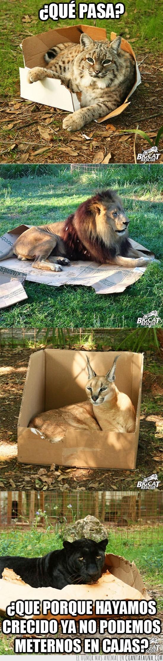 caja,crecer,el sentimiento es el mismo,felinos,gato montes,león,pantera