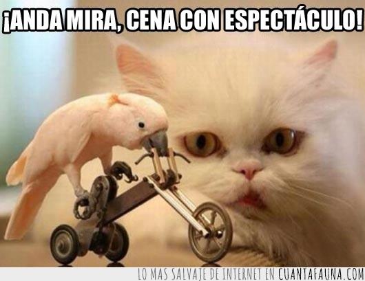 bicicleta,cacatúa,cena,espectaculo,gato,show