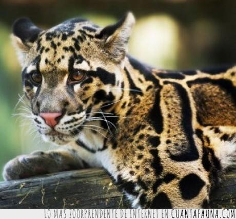 extinción,Leopardo,Taiwán