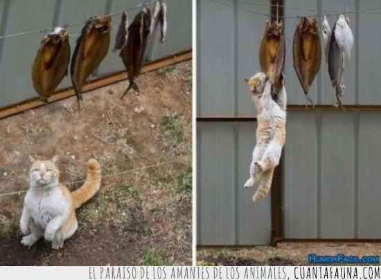 colgando,comida,ejerciocio,gato,gordo,peces,pescado,saltar,salto,tendedero