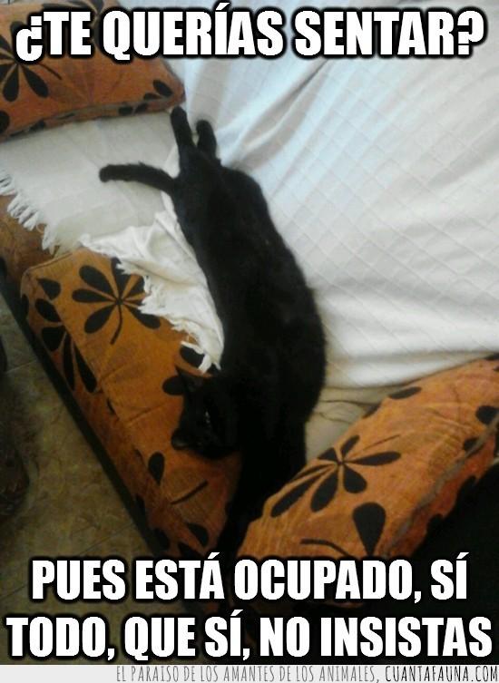 gata,gato,insistir,ocupado,ocupar,sofá,todo