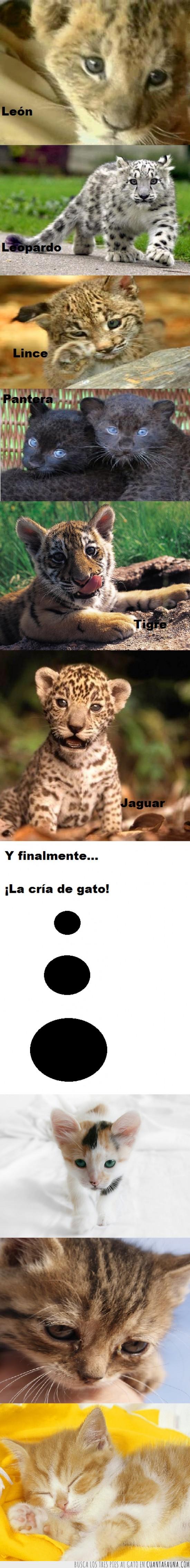 felino,fotos,gato,gatos,jaguar,león,leopardo,monos,pantera,puma