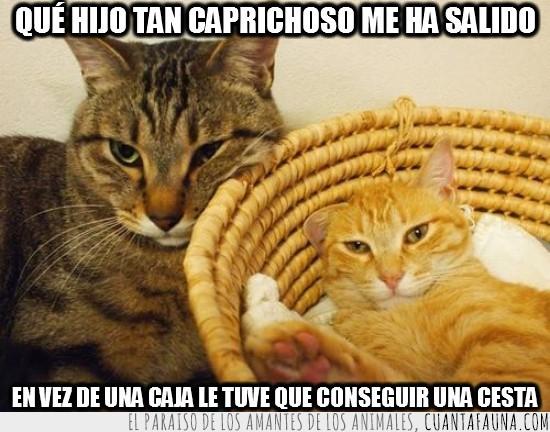 caja,caprichoso,cesta,cómodo,gato