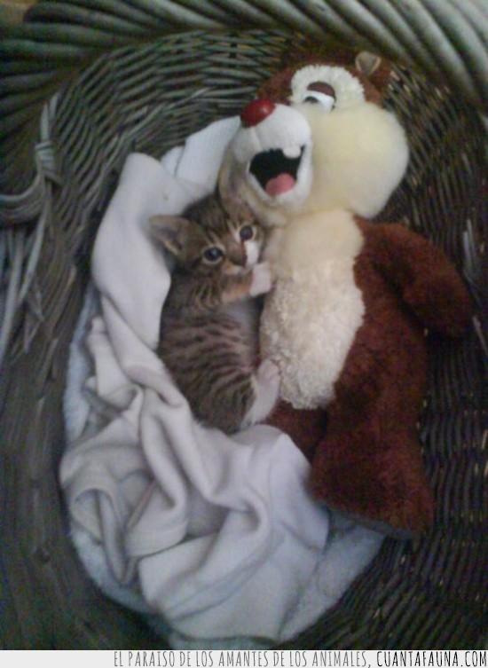 abrazar,cesta,chip y chop,gatito,peluche,pequeño