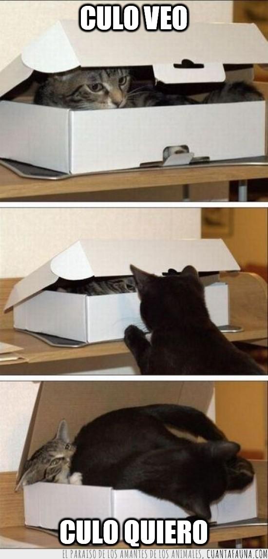 caja,carton,envidia,envidioso,gatos