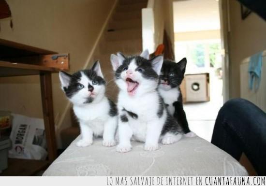 abierto,boca,crias,gatitos,ver