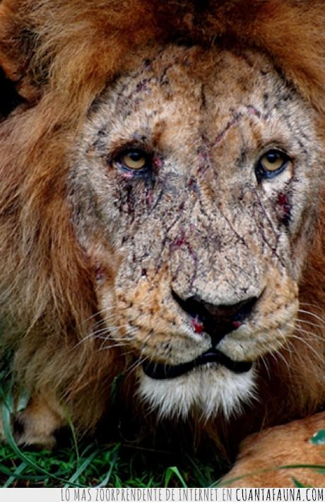 cicatriz,facil,león,pelea,rey