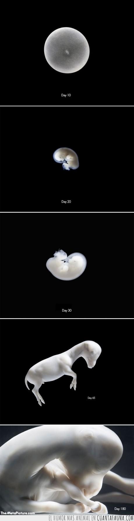 Caballo,Embrión,Gestar,Nacer