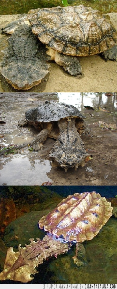 animal,curiosidad,extraña,tortuga