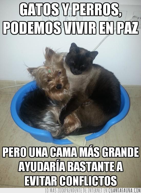 amigos,cama,cariño,conflictos,gato,mas grande,pequeña,perro,tamaño