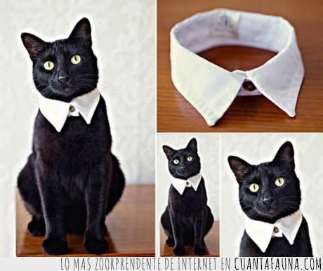 camisa,cuello,elegante,Gato,gato negro,peter pan,quieres