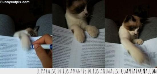 distracción,estudiar,gato,jugar,obligaciones