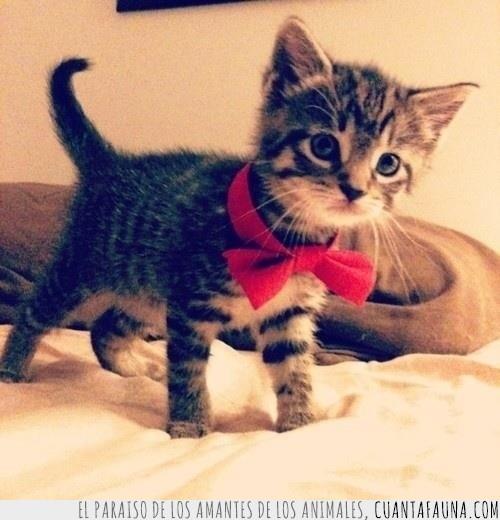 Gato,lazo,pajarita,preparado,rojo