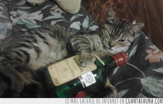 botella,ebrio,gato,whisky