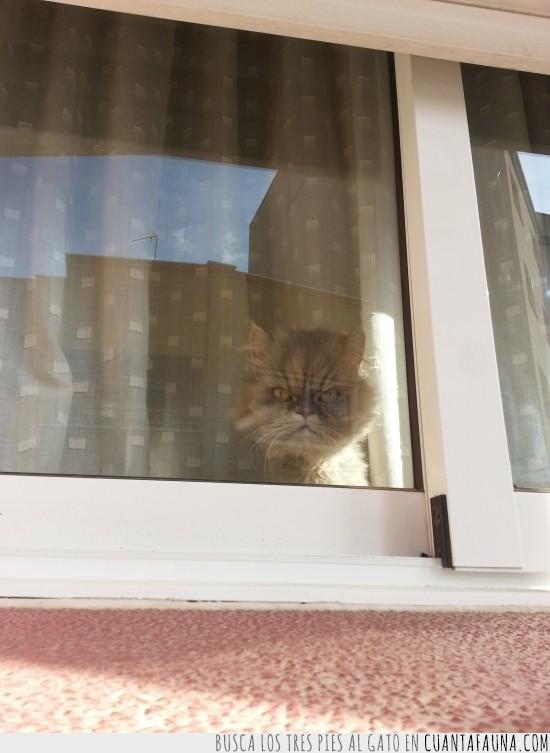 esperar,gato obsesivo,mirar,tarde,ventana