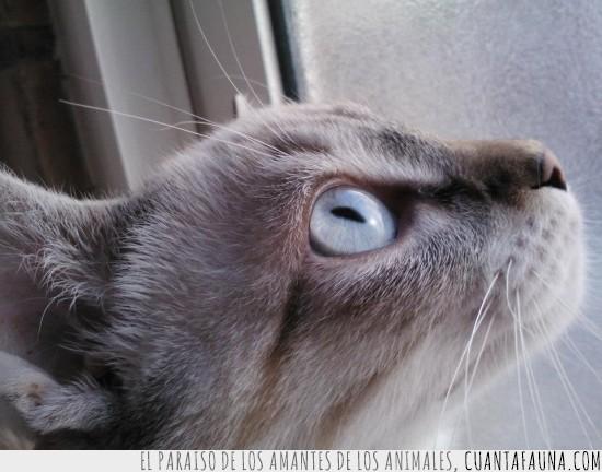 azules,clarito,gato,ojos,primer plano